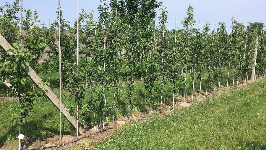 Odległość między drzewami w rzędzie - jak gęsto sadzić jabłonie?