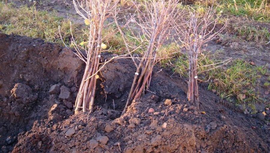 Czy lepiej kupować drzewka na wiosenne nasadzenia już jesienią? Jak je dołować?