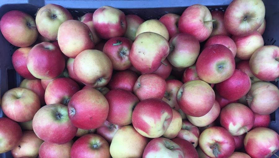 Dlaczego Niemcy nie kupują polskich jabłek?