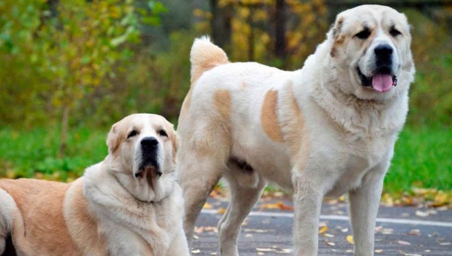 Kradzieże coraz częstsze - psy ochronią sad przed złodziejami?