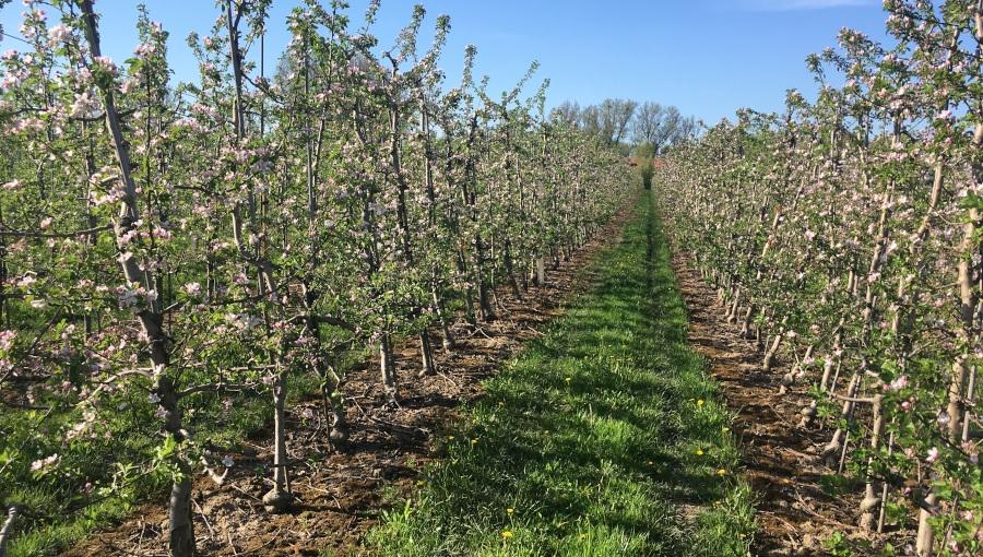 Kwitnienie - ochrona jabłoni i grusz przed zarazą ogniową