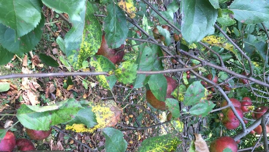 Nekrotyczna plamistość liści jabłoni pozostaje poważnym problemem