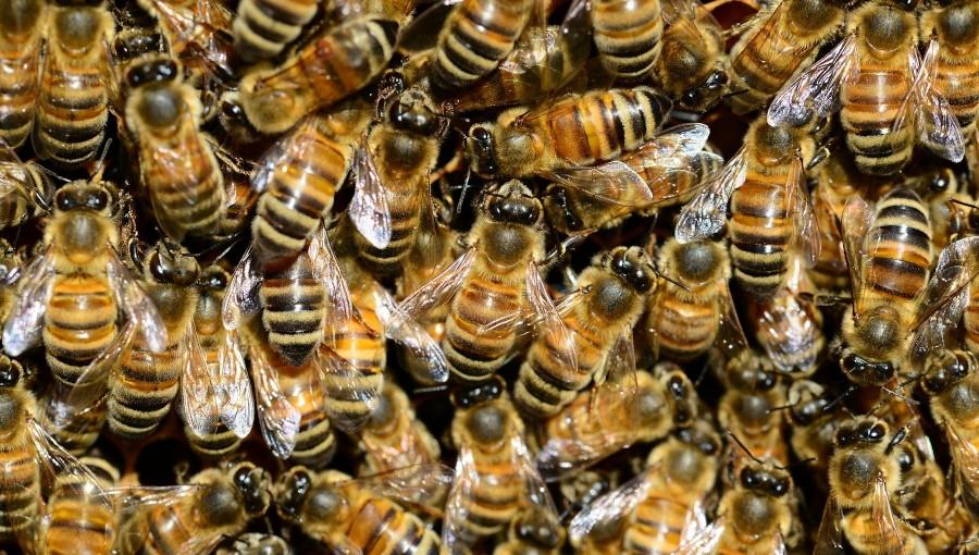 Pszczoła pszczole nierówna - rasa ma znaczenie. Którą wybrać?