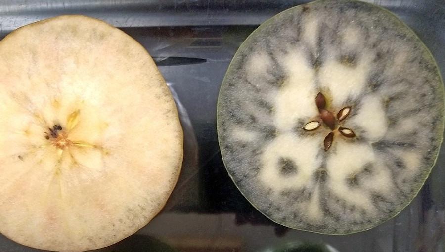 Jak wyznaczyć termin zbioru jabłek i gruszek?
