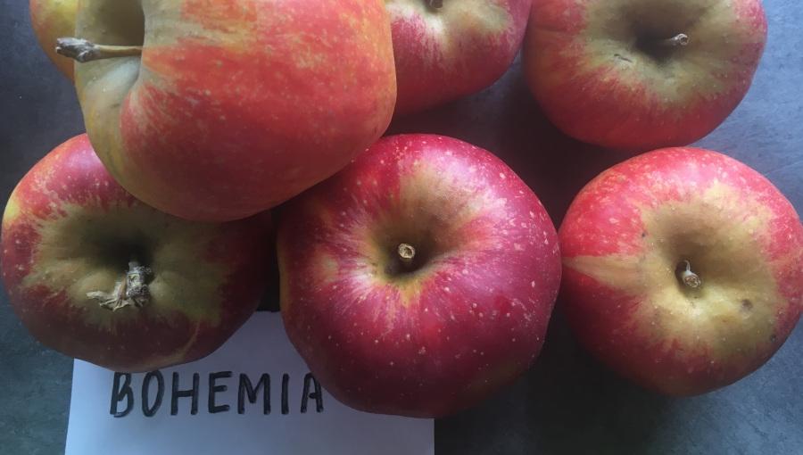 Bohemia - niewykorzystany potencjał w uprawie towarowej?