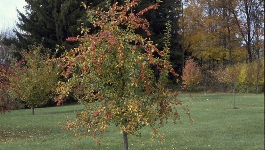 Ozdobne jabłonie jako zapylacze w sadzie to wyłącznie korzyści?