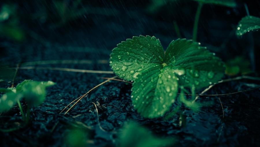 Sierpień, wrzesień, październik czy wiosna - kiedy zakładać plantację truskawek?