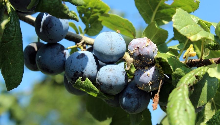 Ochrona sadów przed brunatną zgnilizną drzew pestkowych