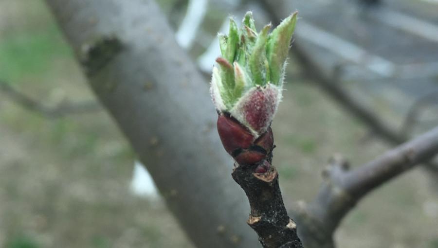 Pierwsze zabiegi przeciw parchowi jabłoni