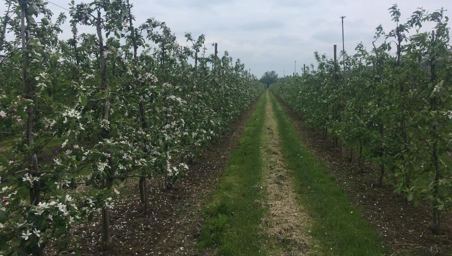 Komunikat sadowniczy - gibereliny po kwitnieniu, 25 V 2021