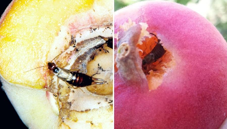 Skorki w brzoskwiniach - czy można zapobiec uszkodzeniom owoców?