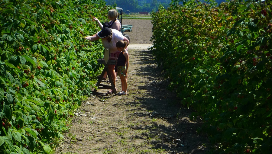 Komunikat sadowniczy, 12 VIII 2021 - maliny letnie po zbiorach