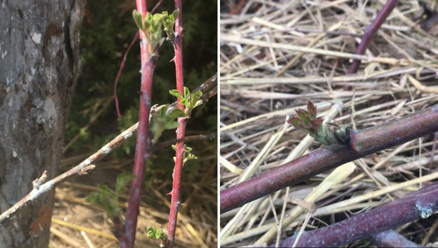 Wczesnowiosenne zabiegi na plantacjach malin i jeżyn