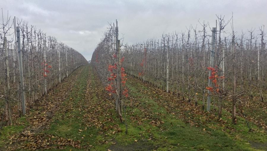 Cięcie zapylaczy - ozdobnych odmian jabłoni