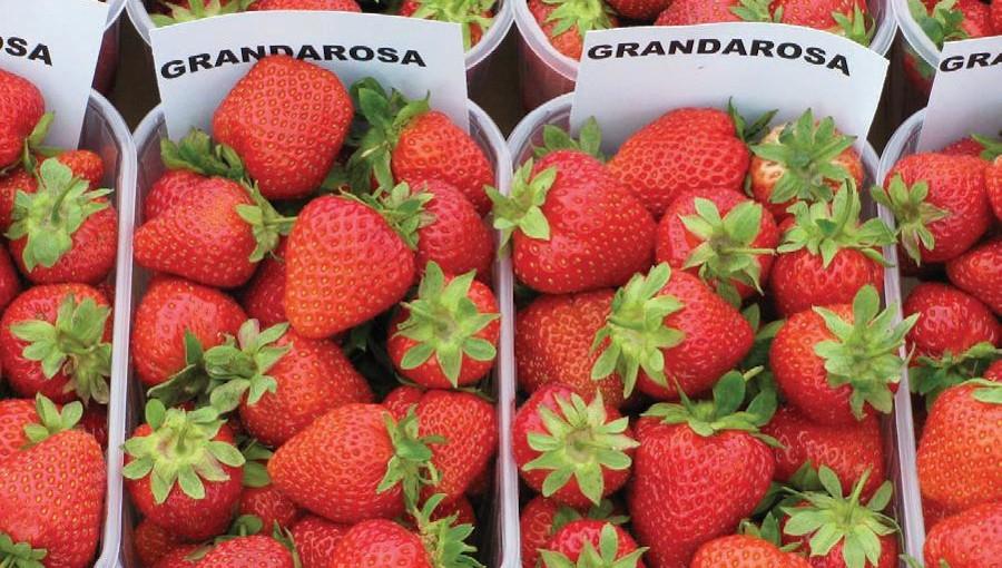 Grandarosa - bardzo wartościowa, polska odmiana truskawek