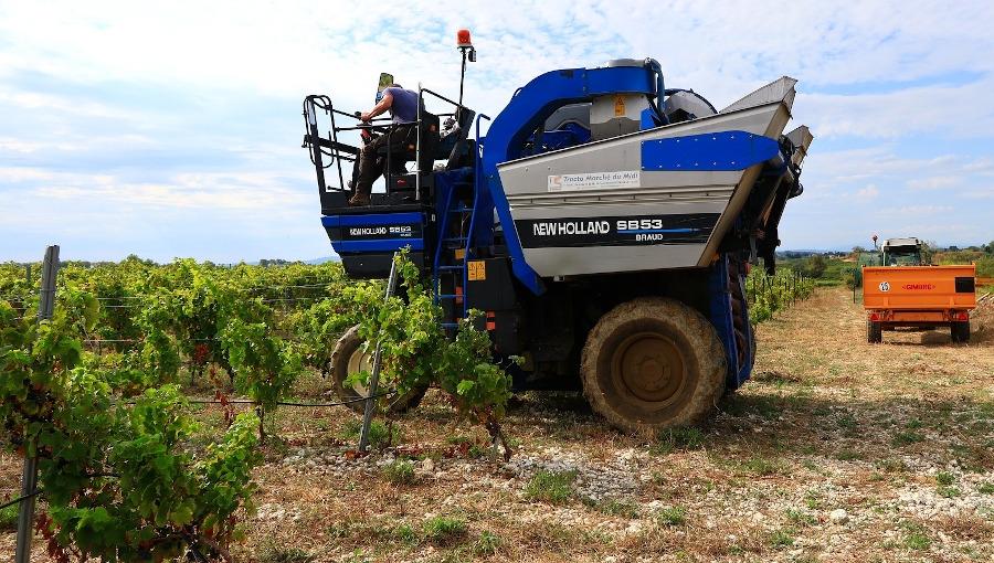 Kombajnowy zbiór winogron