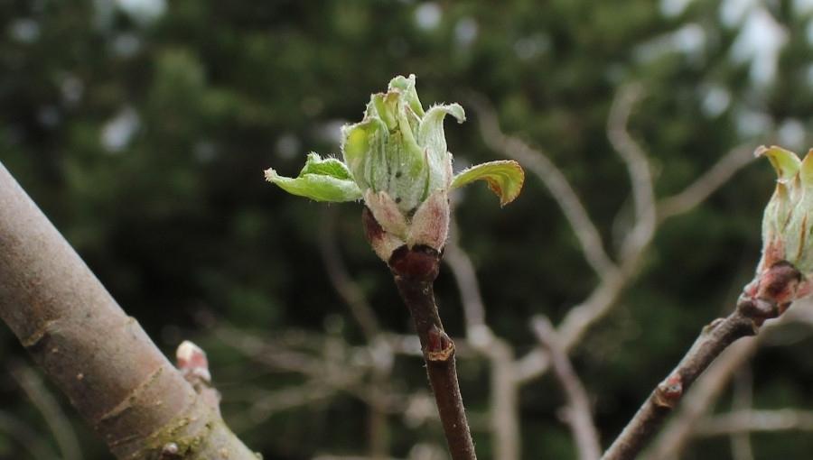 Komunikat sadowniczy - zwalczanie szkodników jabłoni przed kwitnieniem, 19 IV 2021