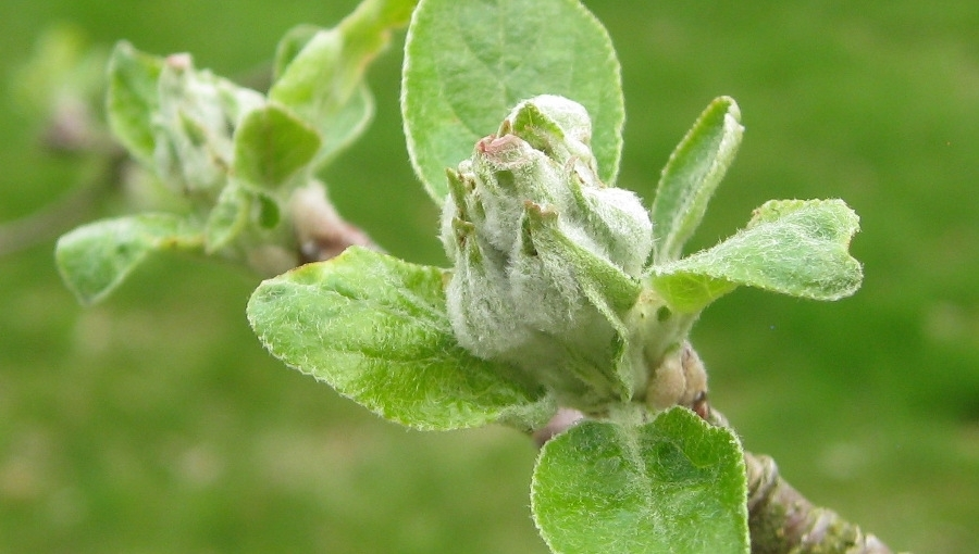Komunikat sadowniczy - parch jabłoni, 2 V 2021