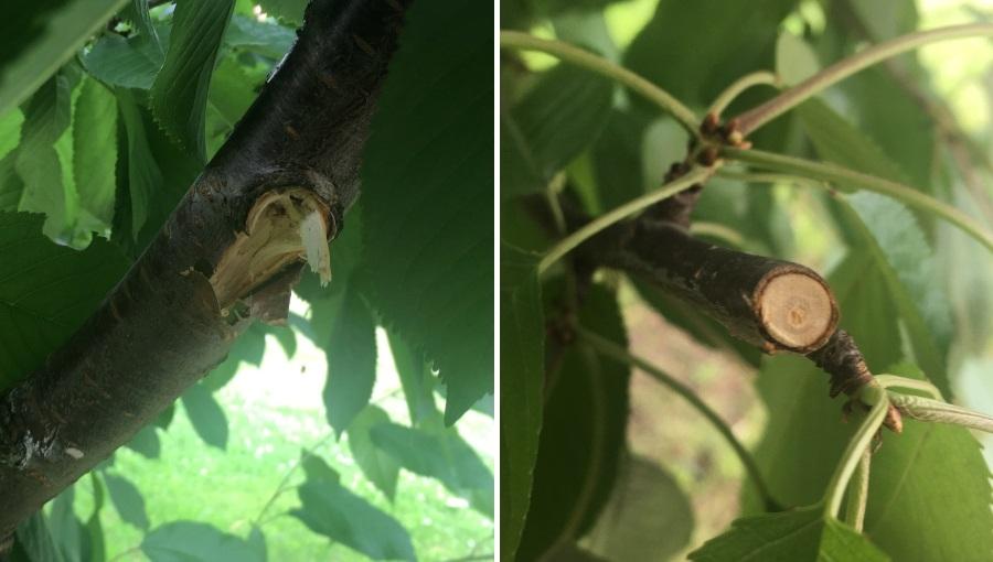 Cięcie czereśni - wycinać czy wyłamywać gałęzie?