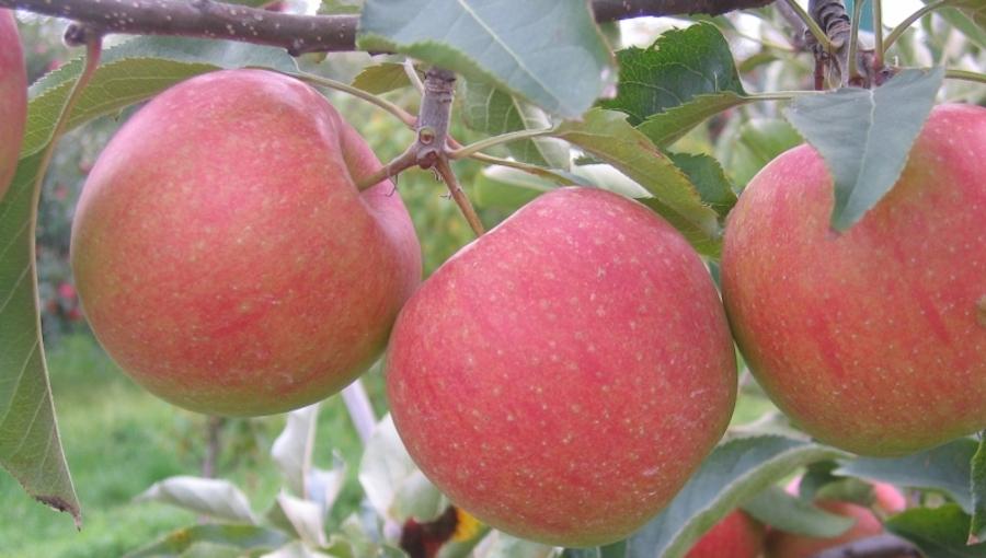 Jak poprawić wyrastanie jabłek? - zwiększanie średnicy owoców po opadzie czerwcowym