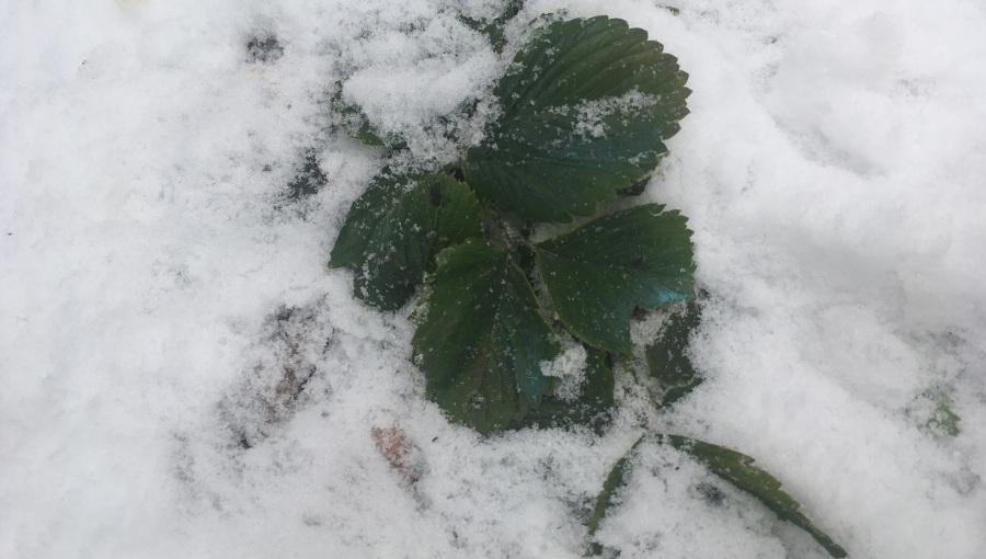 Ochrona plantacji truskawek i poziomek przed mrozem