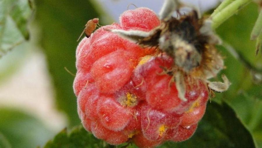 Czy nadchodzące mrozy zmniejszą presję Drosophila suzukii?