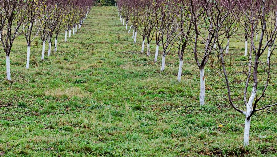 ABC bielenia drzew owocowych wapnem