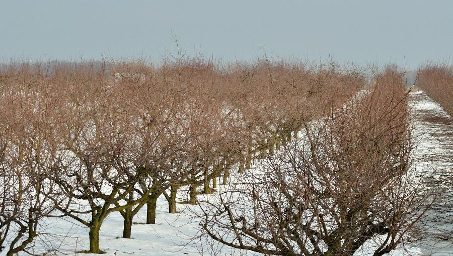 Konsekwencje zbyt silnego cięcia drzew i krzewów owocowych