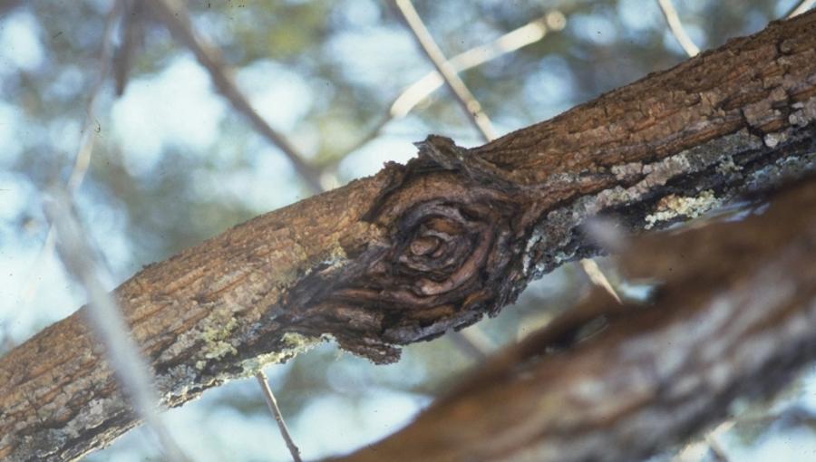 Jesienno - zimowa strategia ochrony jabłoni przed rakiem drzew owocowych