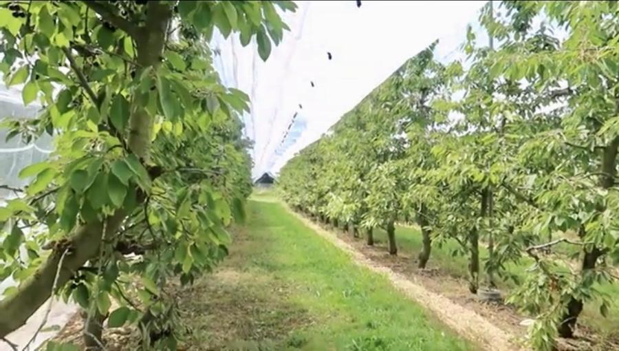 Problemy ze zbyt gęstymi sadami czereśniowymi. W jakiej rozstawie sadzić czereśnie?