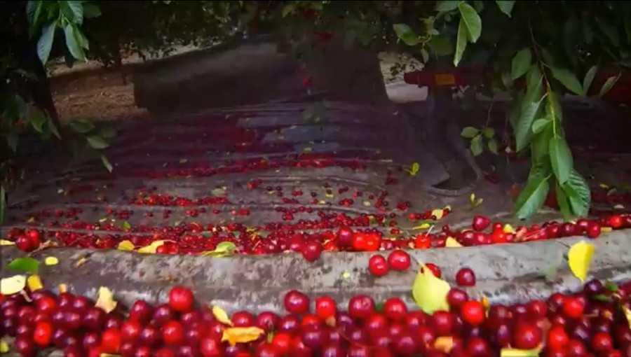 Mechaniczny zbiór uratuje opłacalność uprawy wiśni? Przegląd rozwiązań polskich firm