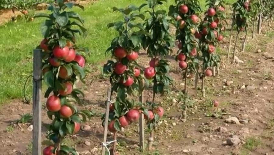 Dlaczego kolumnowe odmiany jabłoni nie wchodzą do uprawy towarowej?