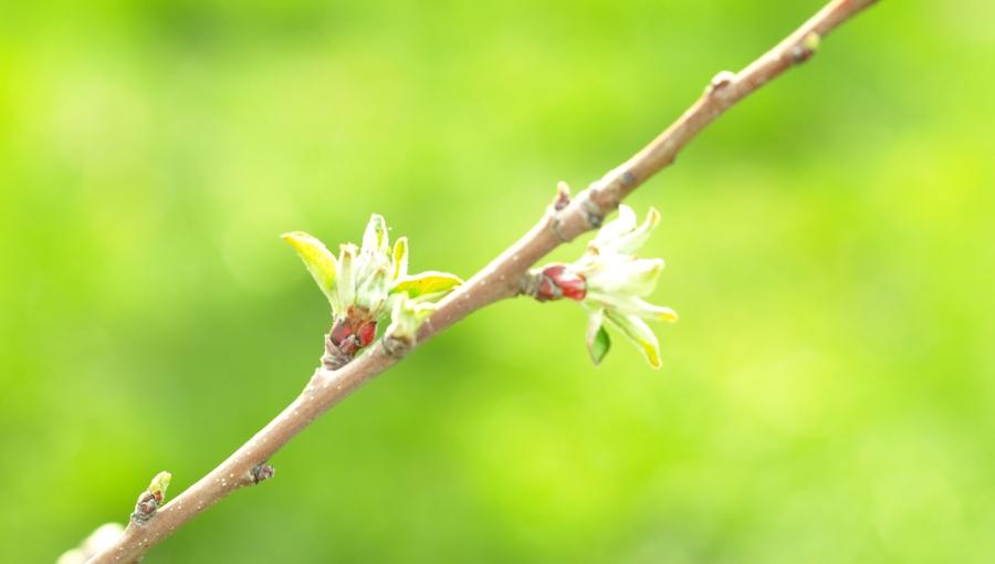 Wiosenne zabiegi olejami w sadownictwie