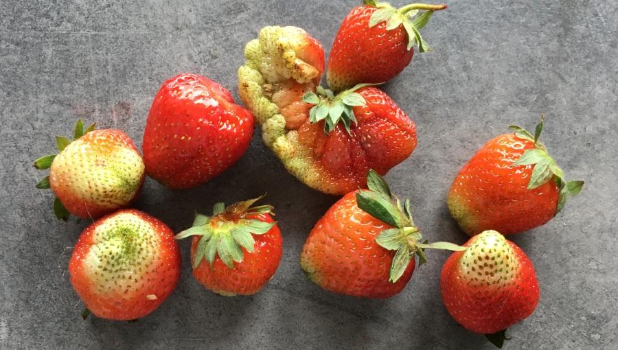Nierównomierne wybarwienie truskawek, wady kształtu oraz inne problemy z jakością - przyczyny i rozwiązania