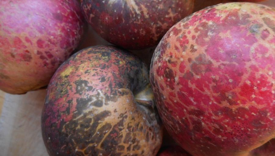 Brudna plamistość jabłek - problem sadów ekologicznych (i nie tylko)