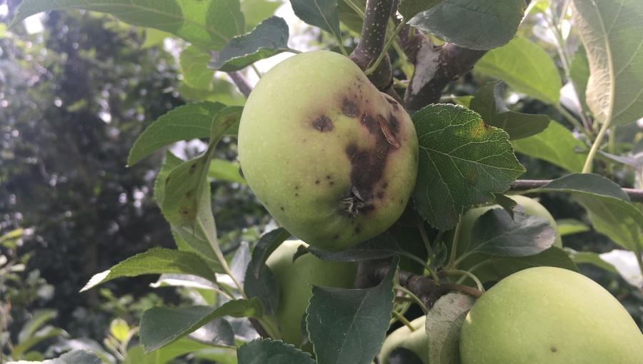 Komunikat sadowniczy, 5 VIII 2021 - ochrona przed parchem jabłoni w drugiej połowie sezonu