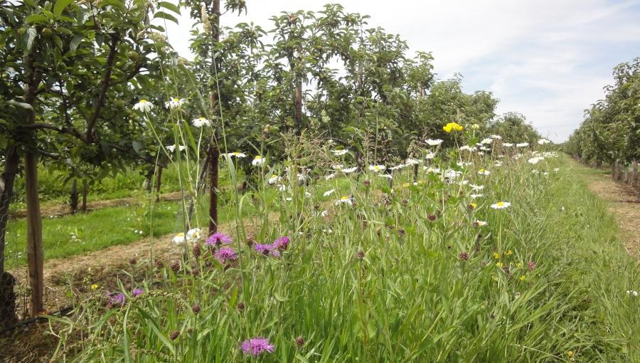 Innowacyjny system utrzymania gleby w sadzie - pasy kwietne