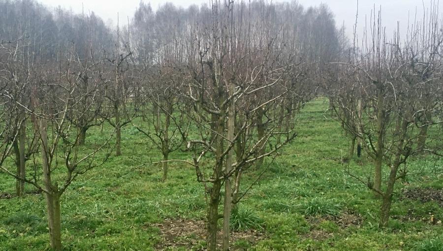 Kiedy i jak Przycinać Drzewa Owocowe Śliwy Węgierki i inne gatunki