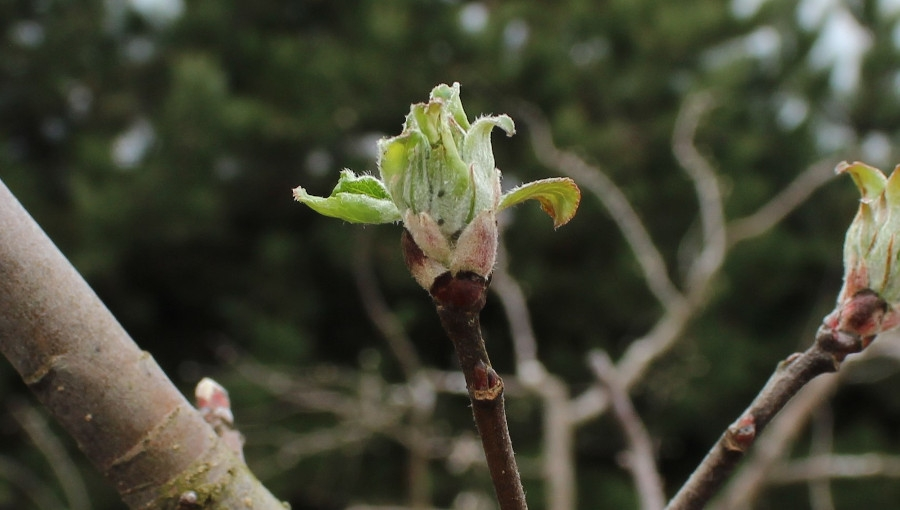 Walka ze szkodnikami jabłoni przed kwitnieniem