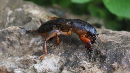 Turkuć podjadek - jak pozbyć się z ogrodu uciążliwego szkodnika?