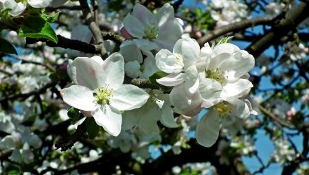 Dlaczego jabłoń kwitnie, ale nie owocuje?