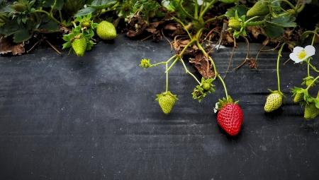 Dlaczego truskawki się nie udają? - przyczyny i rozwiązania