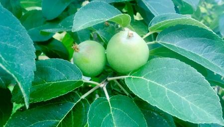 Mieszanie chlorku wapnia z fungicydami a skuteczność dokarmiania owoców