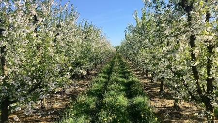 Jak nawozić sady azotem w dobie kryzysu cenowego i spadku dostępności nawozów?