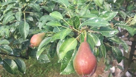 SUSZA a chlorek wapnia na poprawę jędrności jabłek i gruszek