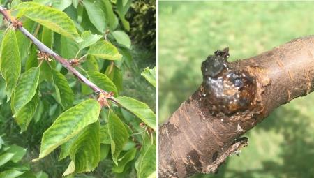 Skutki mroźnej zimy widoczne na pędach i liściach drzew