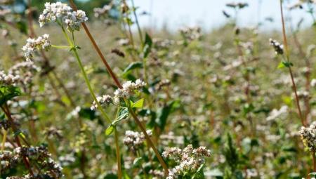 Dlaczego warto posiadać w sadzie suche łęty gryki?