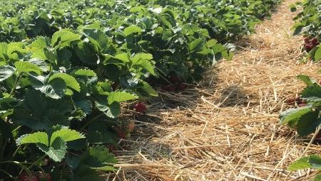 Ściółkowanie plantacji truskawek słomą
