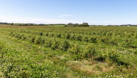 Komunikat sadowniczy - jagoda kamczacka, 6 IV 2021