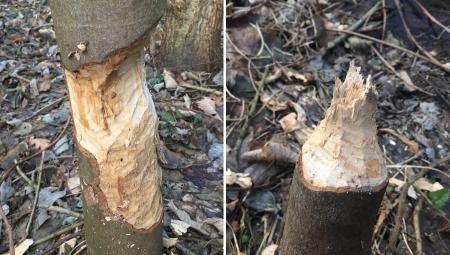 Szkody w sadach powodowane przez bobry